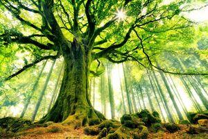 Les plus beaux arbres du monde hetre de ponthus.png